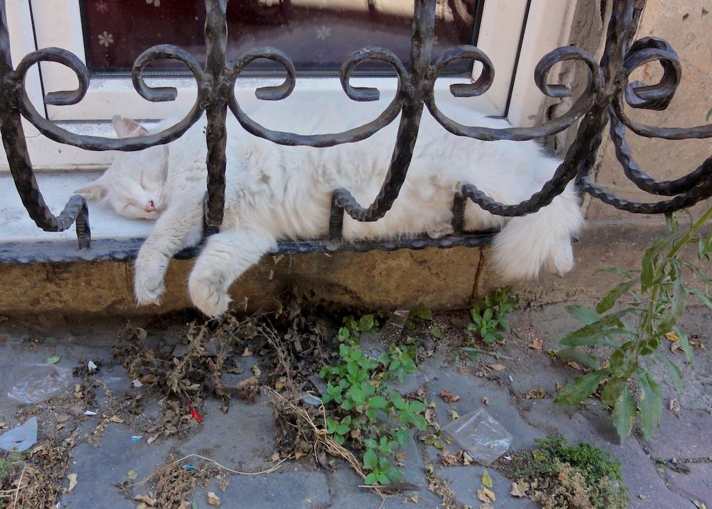 Pariétaire ne dérangeant pas le sommeil du chat de Beyoglu