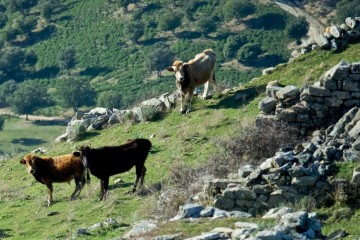 Vaches dédomestiquées du maquis corse